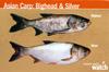 IISG - Asian Carp Bighead and Silver ID Card.jpg